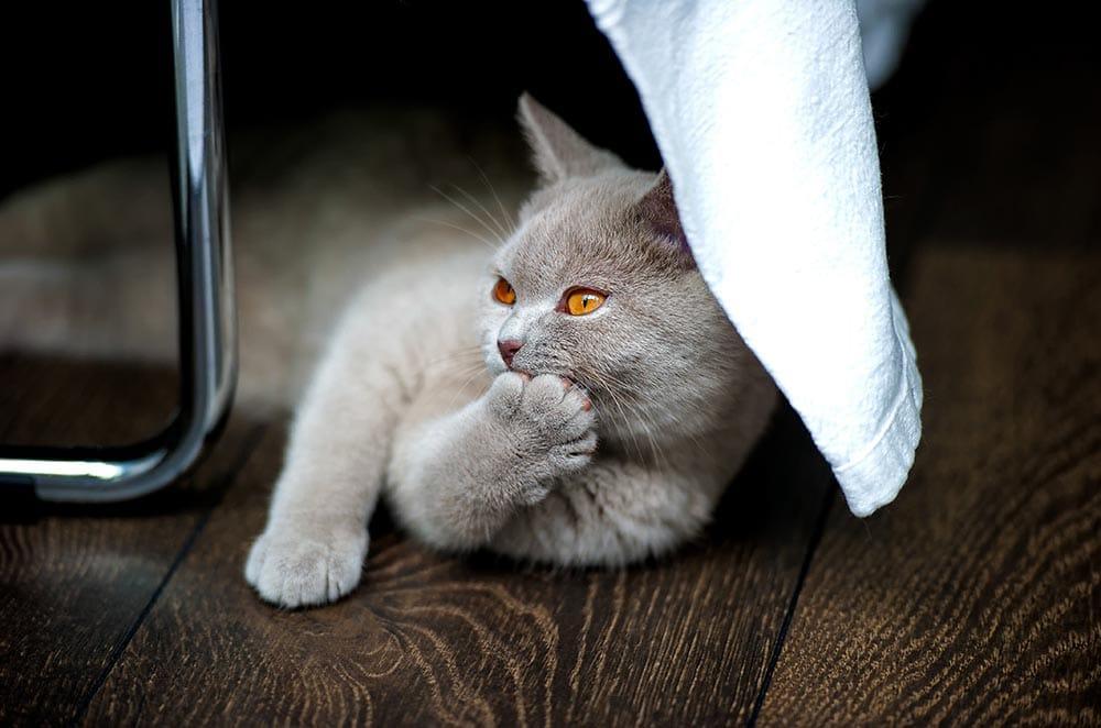 Krallenschneiden bei Katzen - so wird's gemacht