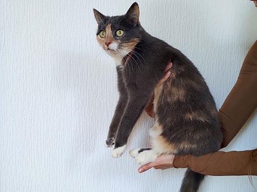 graue Katze auf Arm